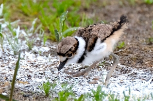 killdeer-plover-chick-good-harbor-beach-gloucester-ma-24-copyright-kim-smith