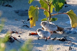 least-tern-chicks-one-day-old-copyright-kim-smith