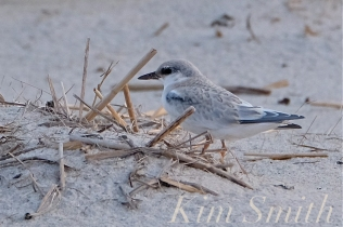 least-tern-crane-beach-copyright-kim-smith