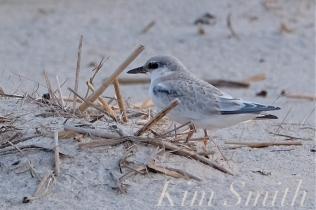 least-tern-crane-beach-copyright-kim-smith