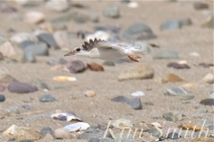least-tern-eighteen-day-old-chick-learning-to-fly-7-copyright-kim-smith