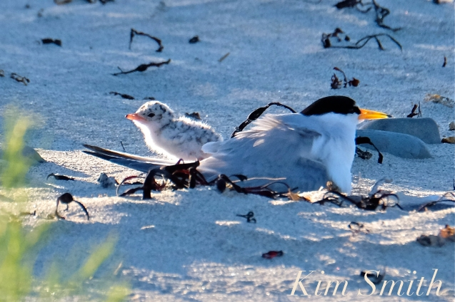 least-tern-one-day-old-chicks-2-copyright-kim-smith