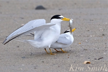 least-terns-courtship-feeding-display-21-winthrop-beach-ma-copyright-kim-smith