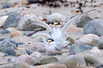 least-terns-courtship-feeding-display-mating-26-winthrop-beach-ma-copyright-kim-smith