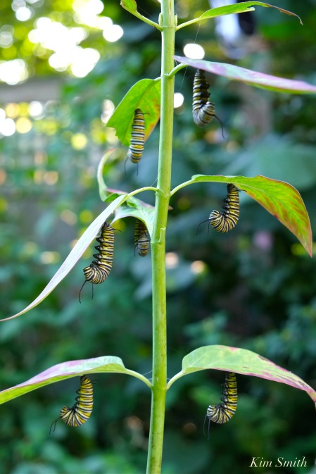 monarch-caterpillar-j-shape-copyright-kim-smith