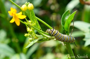 monarch-caterpillar-tropical-milkweed-copyright-kim-smith