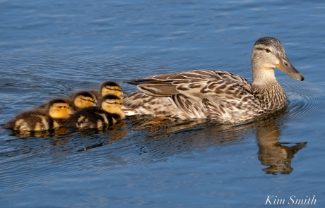 niles-pond-duckling-family-11-copyright-kim-smith