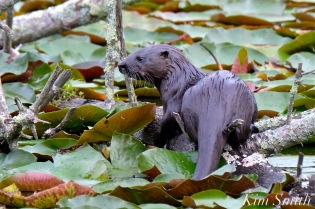 north-american-river-otter-kit-pup-copyright-kim-smith