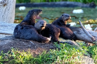 north-american-river-otter-mother-and-two-kits-pups-3-copyright-kim-smith