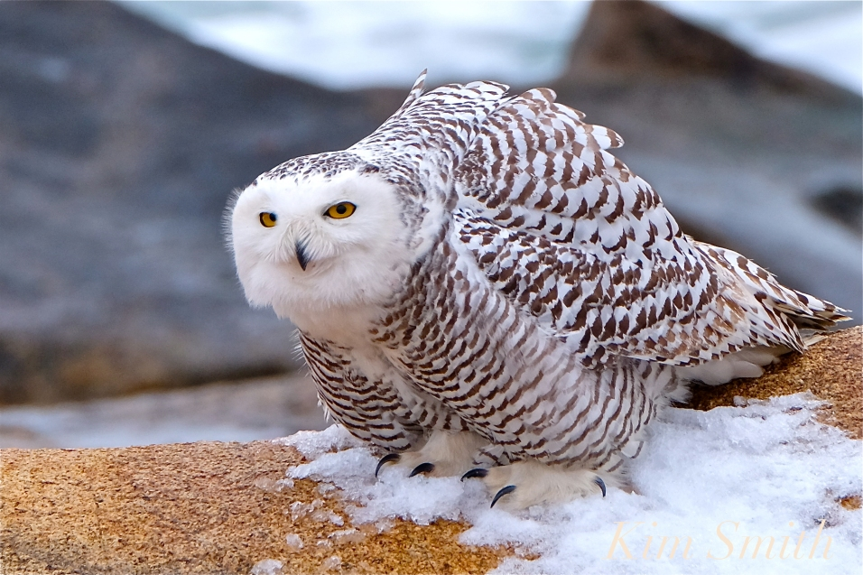 nowy-owl-feet-female-hedwig-gloucester-ma-3-copyright-kim-smith
