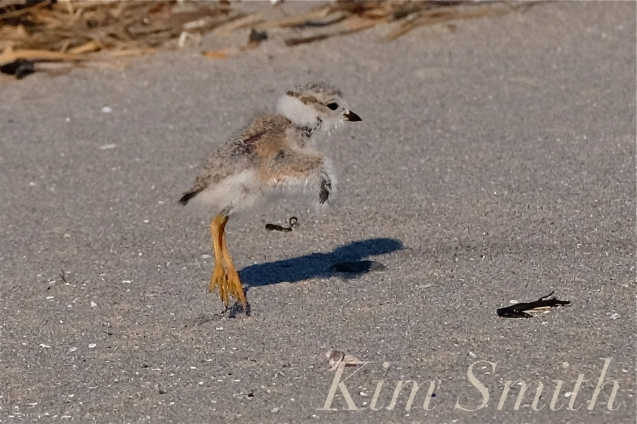 piping-plover-chick-seventeen-days-old-flight-test-good-harbor-beach-copyright-kim-smith
