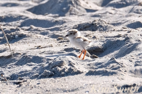 piping-plover-chicks-one-day-old-good-harbor-beach-2-june-10-2018-copyright-kim-smith1