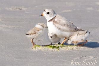 piping-plover-chicks-snuggling-copyright-kim-smith1