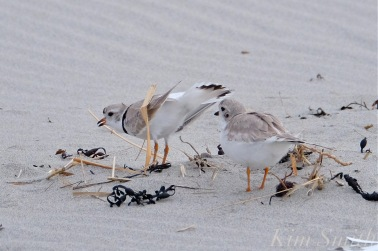 piping-plover-courtship-female-inspecting-nest-scrape-gloucester-ma-5copyright-kim-smith