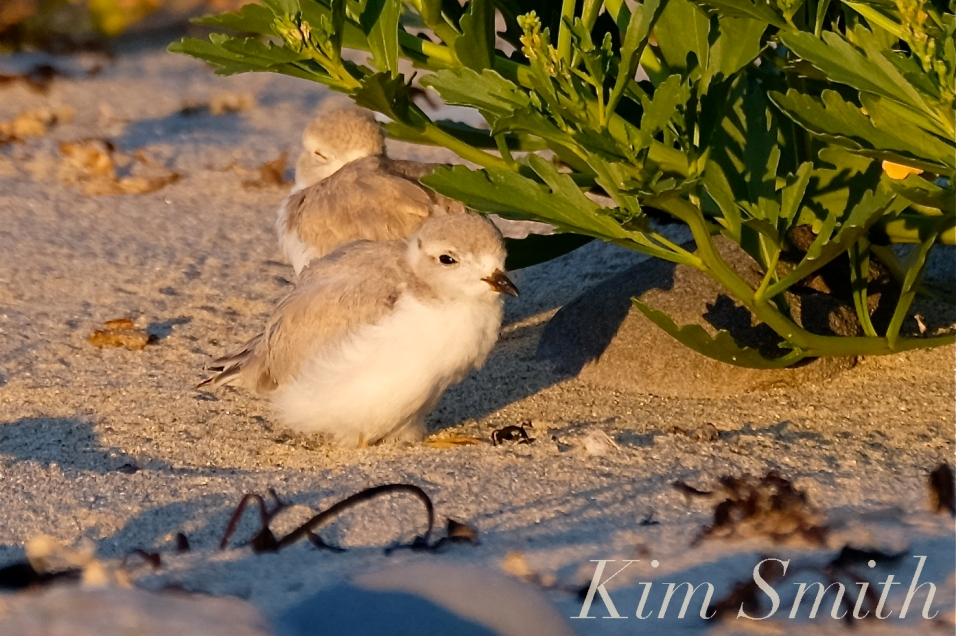 piping-plover-fledglings-rosettis-chicks-copyright-kim-smith