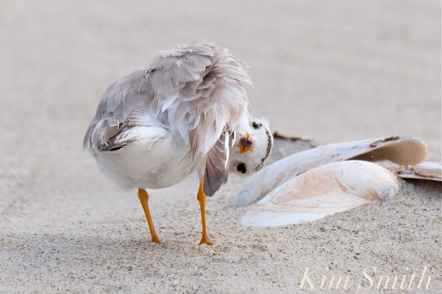 piping-plover-fuuny-copyright-kim-smith
