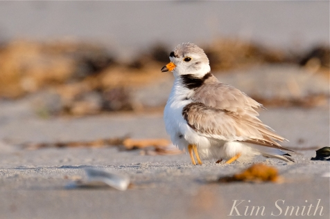piping-plover-male-eight-day-old-chick-3-copyright-kim-smith