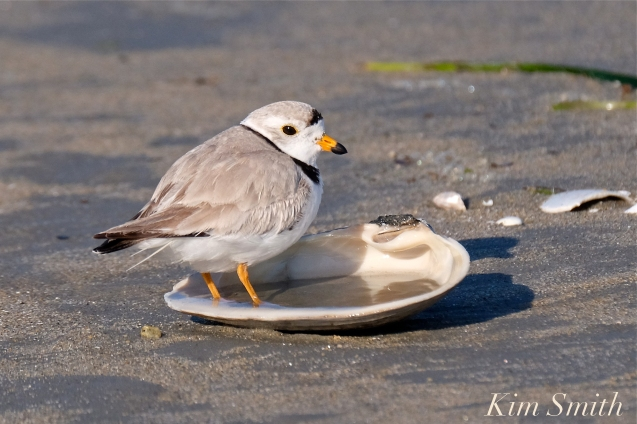 piping-plover-on-the-half-shell-copyright-kim-smith