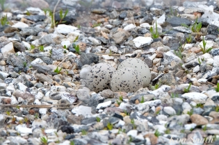 piping-plover-three-eggs-copyright-kim-smith