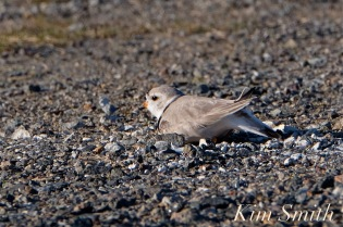 piping-plovers-nesting-in-parking-lot-2-copyright-kim-smith