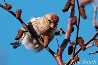redpoll eating birch seeds crane beach copyright kim smith