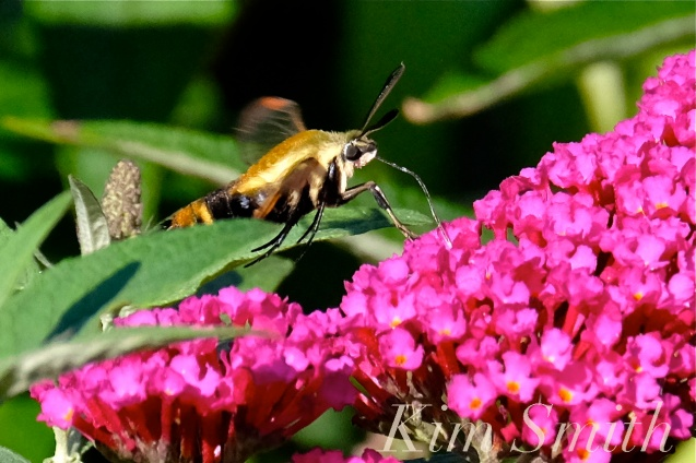 snowberry-clearwing-moth-copyright-kim-smith