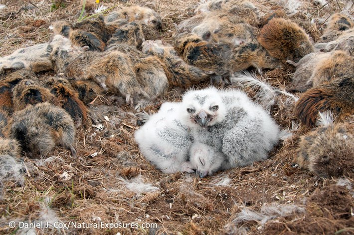 Snowy Owl Sleeping Please Do Not Disturb Kim Smith Designs