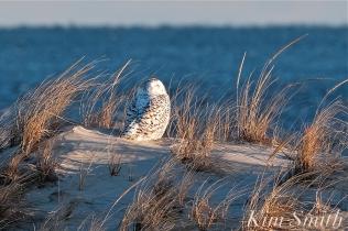 snowy owl dunes crane beach copyright kim smith