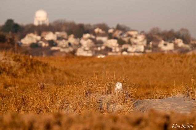 snowy owl dunes golden morning crane beach copyright kim smith