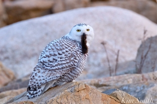 snowy-owl-hedwig-eating-mammal-2-coopyright-kim-smith