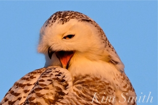 snowy-owl-hedwig-yawning-copyright-kim-smith
