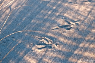 snowy owl tracks copyright kim smith