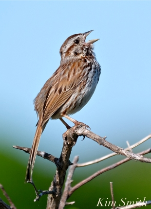 song-sparrow-good-harbor-beach-copyright-kim-smith