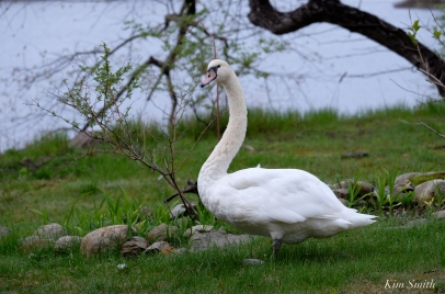 swan-niles-pond-2-copyright-kim-smith