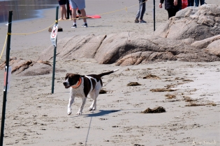 07. Dog Disturbance GHB Piping Plover Nesting 4-28-18 copyright Kim Smith