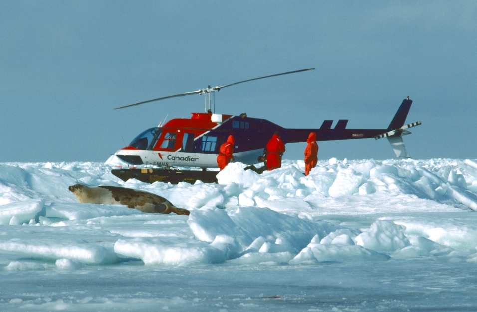 1-39 Quebec 2002, Gulf of St Lawrence, helicopter and harp seal on pack ice