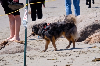 11. Dog Disturbance GHB Piping Plover Nesting 4-28-18 copyright Kim Smith