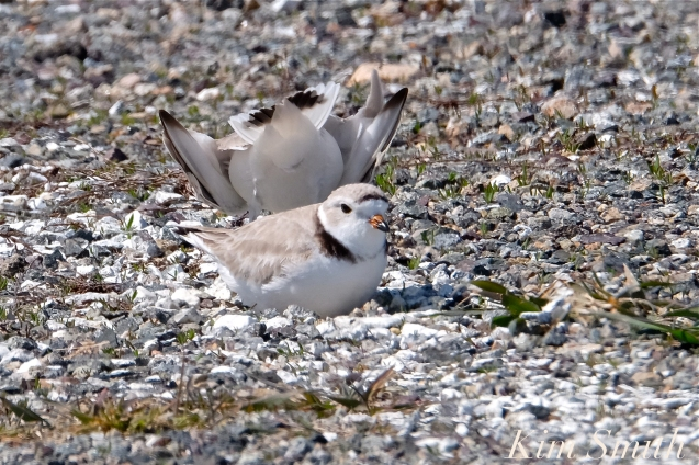 20. Good Harbor Beach Piping Plover Nesting in Parking Lot 4-28-18 copyright Kim Smith
