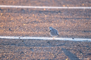 22. Good Harbor Beach Piping Plover Nest in Parking Lot 4-28-18 copyright Kim Smith