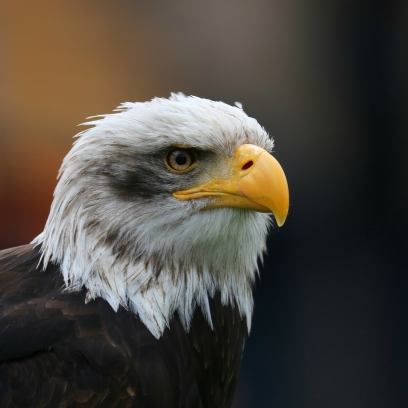 Bald_Eagle_Head_sq