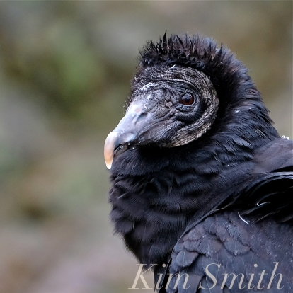 Black Vulture Gloucester Rockport Massachusetts -17 copyright Kim Smith