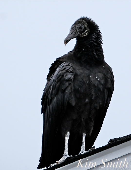 Black Vulture Gloucester Rockport Massachusetts -22 copyright Kim Smith