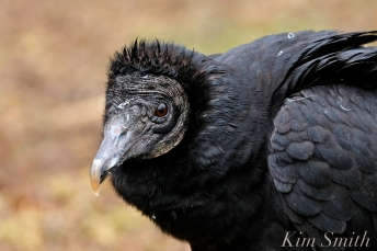 Black Vulture Gloucester Rockport Massachusetts -3 copyright Kim Smith