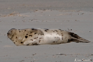 Harp Seal GHBeach Gloucester Massachusetts copyright Kim Smith - 05
