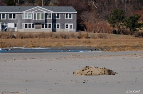 Harp Seal Juvenile GHBeach Gloucester Massachusetts copyright Kim Smith - 07