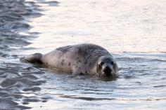 Harp Seal Juvenile Gloucester 38