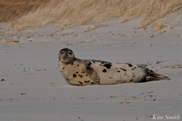Harp Seal Juvenile Gloucester Massachusetts copyright Kim Smith - 08