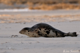 Harp Seal Juvenile Gloucester Massachusetts copyright Kim Smith - 21
