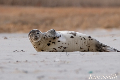 Harp Seal Juvenile Gloucester Massachusetts copyright Kim Smith - 23