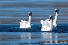 Mute Swans Gloucester Massachusetts copyright Kim Smith - 2